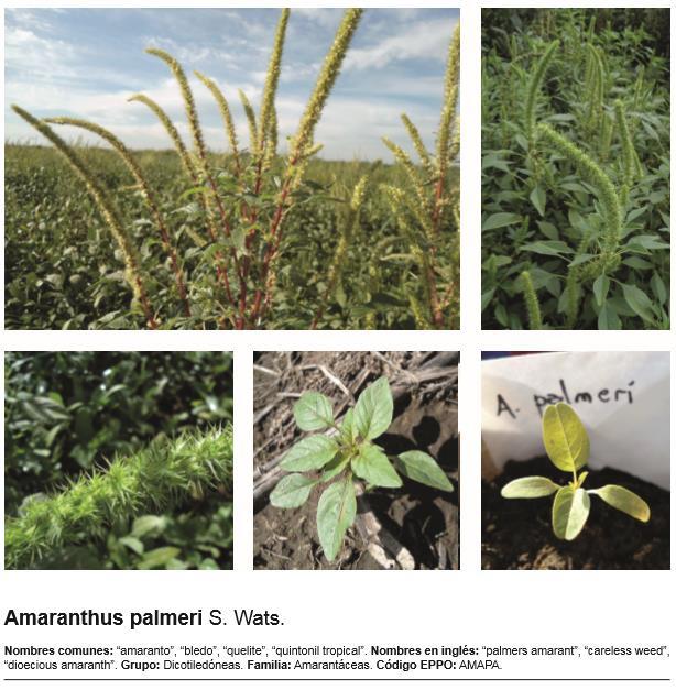Es posible aumentar la eficiencia de los herbicidas en el control de Amaranthus Palmeri?